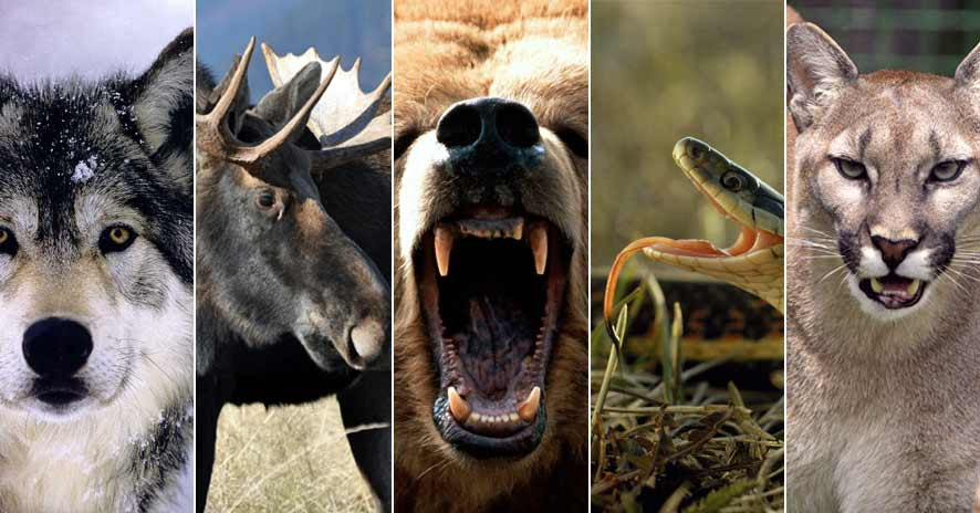 5 animals you need to be careful of in Canada
