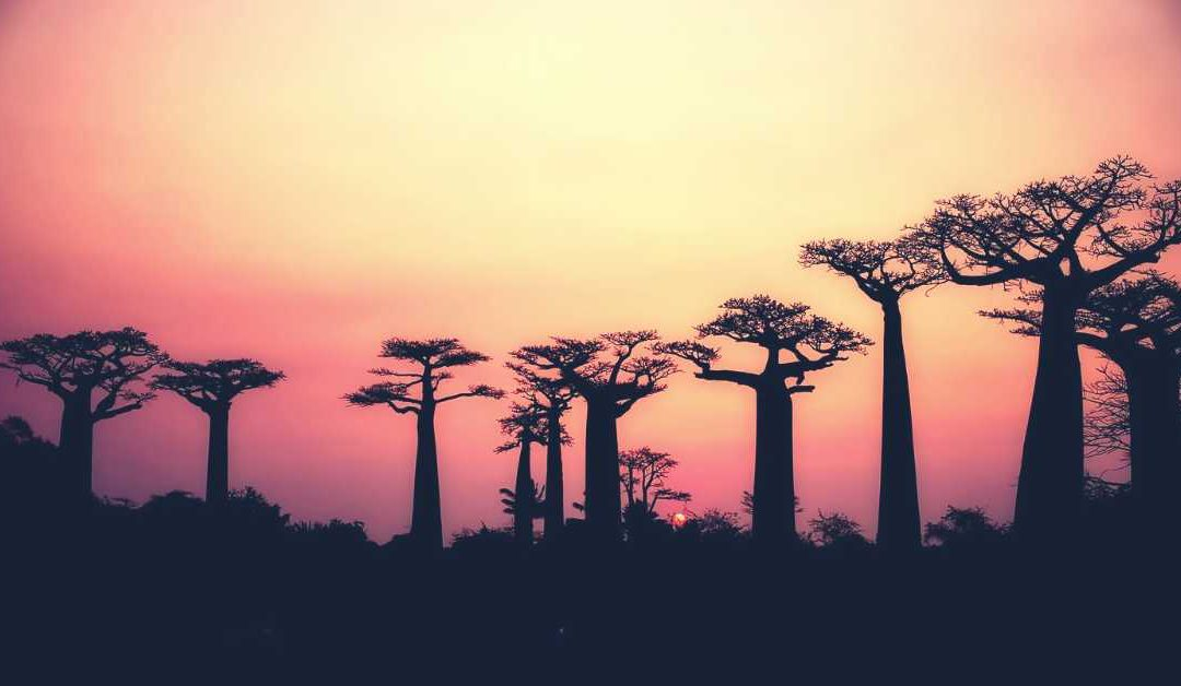 about-the-Baobab-tree