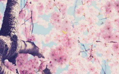 View Cherry Blossoms around the world